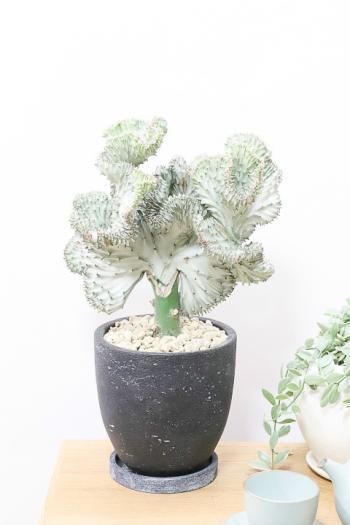 ユーフォルビア マハラジャ 葉色が美しく個性的なフォルムが人気の多肉植物です。