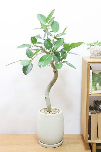 ベンガレンシス 葉の緑がとても美しくてボリュームのある観葉植物