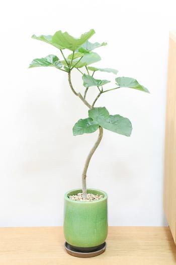 ウンベラータ 個性的な幹のカーブが美しく、インテリアに人気です!!