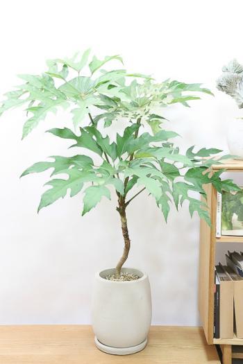 トレベシア 個性的な葉を持つ観葉植物!希少な植物です!