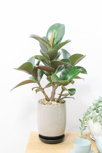 フィカス・ソフィア スタイリッシュでボリュームのある樹形。丈夫で育てやすいのでおすすめ!!