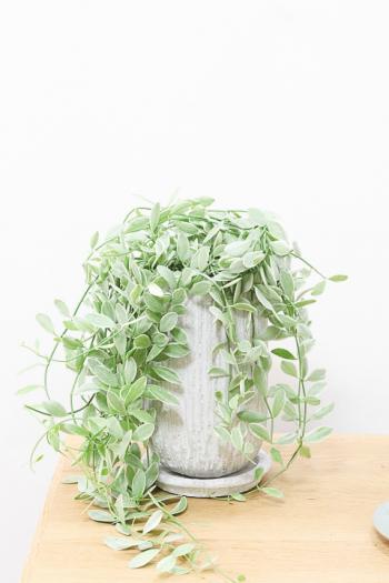 ディスキディア エメラルド かわいいお手頃サイズ。育てやすく水やりが少なくてい多肉植物です!!