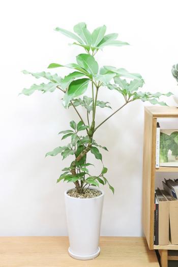 チュピタンサス 存在感のある樹形なので、お部屋のインテリアにはぴったりの観葉植物です!