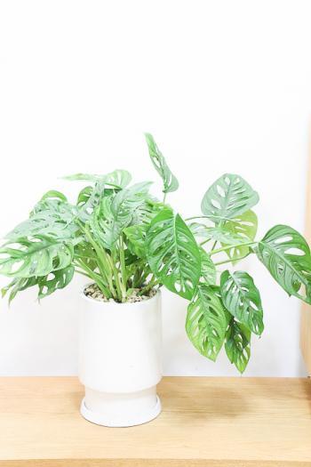 マドカズラ 葉のフォルムが個性的!育てやすく丈夫な観葉植物!