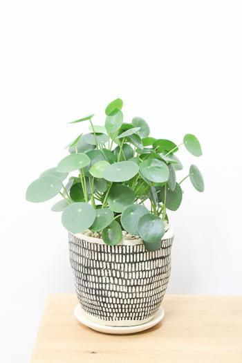 ペペロミオイデス まん丸の葉がとてもかわいい人気の観葉植物!