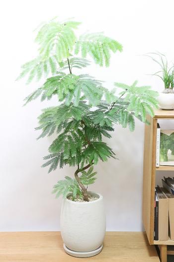 エバーフレッシュ ボリュームのある樹形。夜になると閉じる葉が特徴の観葉植物。