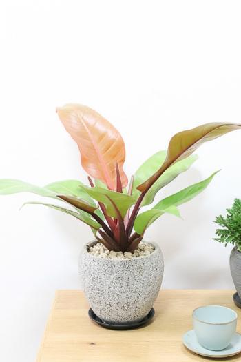 フィロデンドロン プリンスオブオレンジ 葉色がとても美しく、育てやすく丈夫な観葉植物です!