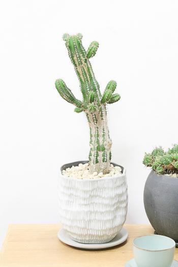ユーフォルビア 大正麒麟 個性的はフォルムの多肉植物。希少な観葉植物なので、この機会にぜひ!