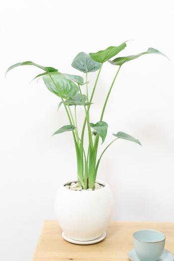 クワズイモ 新芽が次々出ることから、出世芋と呼ばれる縁起の良い観葉植物です!