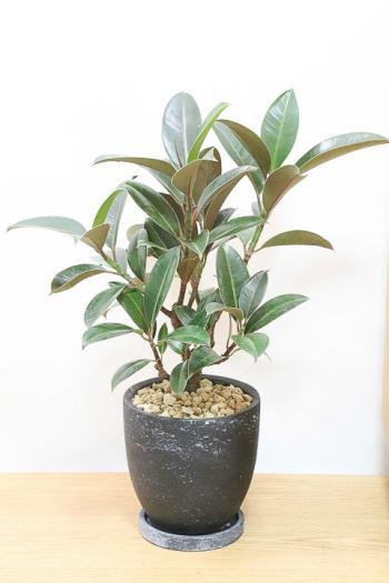 フィカス・メラニー お手頃なサイズ感でシックな葉色がとても美しいゴムの木です!!