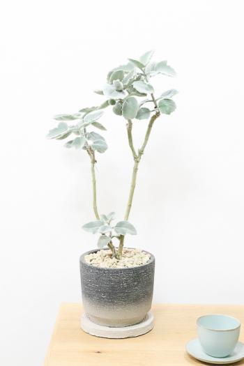 カランコエ ローズリーフ 美しいシルバーリーフが特徴的な観葉植物です!!