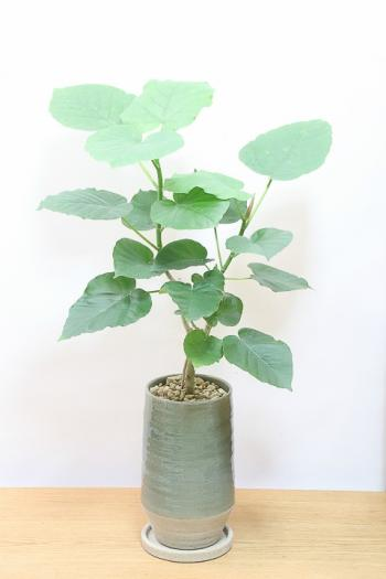 ウンベラータ お手頃なサイズ!ボリュームのある樹形のインテリアグリーンです!