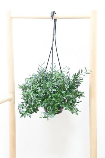 フィカス アヌーク ミニミニのかわいい葉がステキな観葉植物!