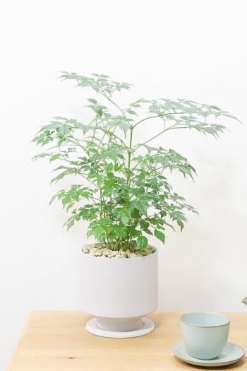 ステレオスペルマム さわやかな葉色が人気の観葉植物です!