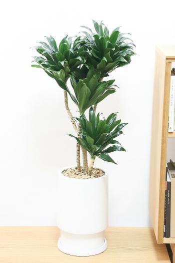 ドラセナコンパクター インテリアにちょうどいいサイズ。育てやすくて丈夫な観葉植物