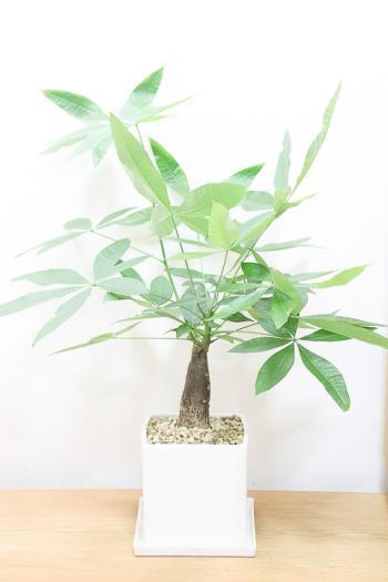 パキラ 個性的な幹がとても美しい。育てやすくて人気です。