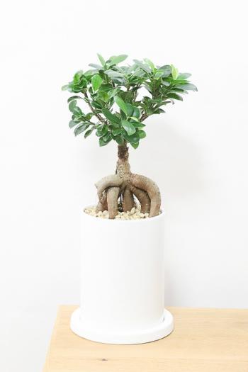 ガジュマル 幹が個性的なのでインテリアにはぴったりの観葉植物!