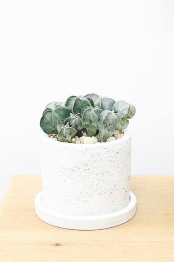 サボテン ランポウギョク 個性的なフォルム。インテリアに最適な観葉植物です!
