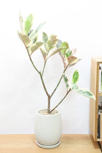 フィカス・ティネケ 存在感のある個性的な樹形。鮮やかな葉色がステキな観葉植物!