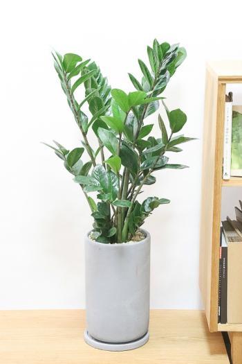 ザミオクルカス お手頃なサイズ感。作り物のような美しい葉が特徴。