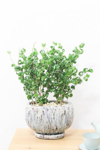 ベンジャミン バロック お手頃サイズのくるくるの葉がかわいい!人気の観葉植物