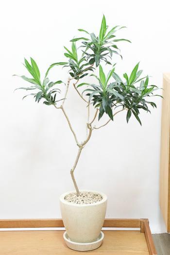 ジャマイカ 存在感のある樹形。ワイルドな幹がステキなグリーンです。