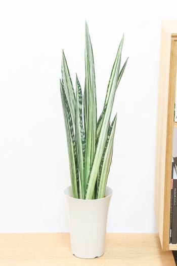 サンスベリア センセーション 希少品種!ストライプ模様の美しい葉が特徴の観葉植物です!