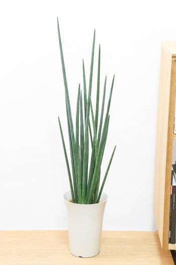 サンスベリア エリスラエイ 希少品種!スティック状のの美しい葉が特徴の観葉植物です!
