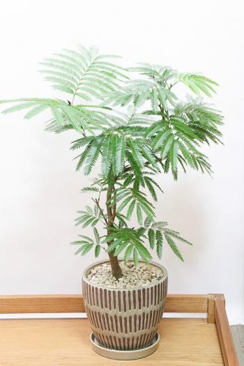 エバーフレッシュ お手頃なサイズ。ボリュームのある樹形。夜になると閉じる葉が特徴の観葉植物。