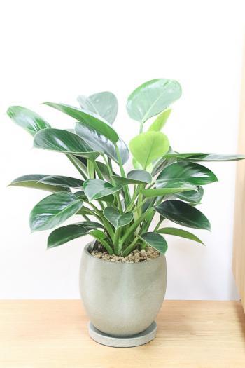 フィロデンドロン グリーンプリンセス 深いグリーンがとても美しい観葉植物です!