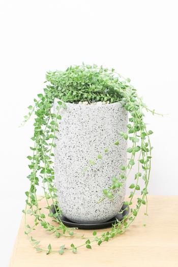 ディスキディア ミリオンハート かわいいミニミニサイズ。育てやすく水やりが少なくてい多肉植物です!!