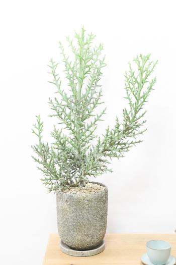 ユーフォルビア トナカイカク 個性的な観葉植物をお探しの方にはおすすめです!