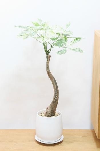 パキラ ミルキーウェイ 葉の模様がとても美しい希少な観葉植物です!