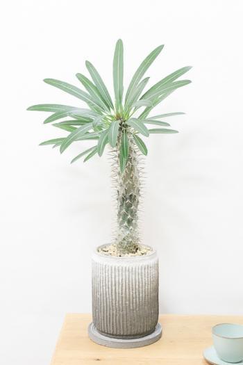 パキポディウム ラメリー 個性的なフォルムが美しい希少な観葉植物です!