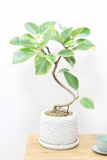 アルテシマ お手頃でボリュームのある樹形。鮮やかな葉色がステキな観葉植物!