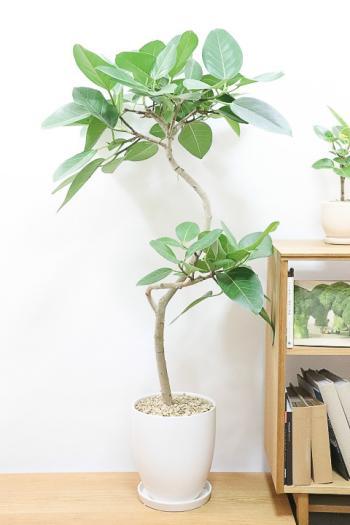 ブルーアルテシマ 葉色がとても美しく、丈夫で育てやすい!インテリアにおすすめ!