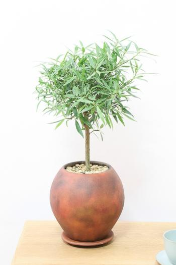 フィカス・サリシフォリア スタイリッシュでボリュームのある樹形。丈夫で育てやすいのでおすすめ!!