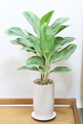 アグラオネマ  美しい葉色がかわいい。日陰にも強い観葉植物!