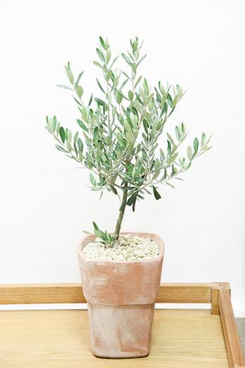 オリーブ チプレッシーノ お手頃なサイズ。お庭のアクセントに人気のグリーンです!