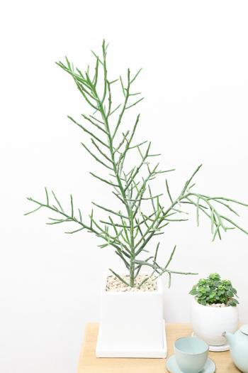 ユーフォルビア フィフェレネンシス 個性的はフォルムの多肉植物。希少な植物なので、この機会にぜひ!