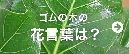 ゴムの木の花言葉は?