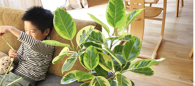 楕円形の鮮やかなグリーンの葉っぱ、個性的な樹形が印象的なゴムの木(フィカス)。寒さにも比較的強く、育てやすい観葉植物