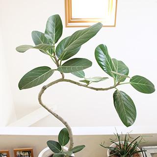 人気観葉植物ゴムの木