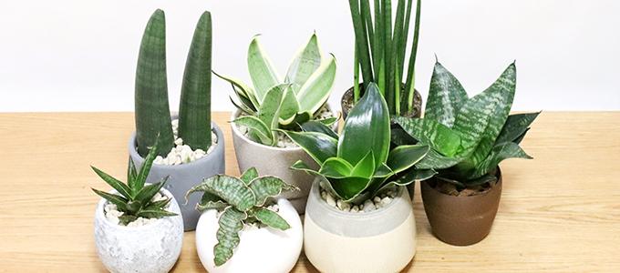 楕円形の鮮やかなグリーンの葉っぱ、個性的な樹形が印象的なモンステラ(フィカス)。寒さにも比較的強く、育てやすい観葉植物