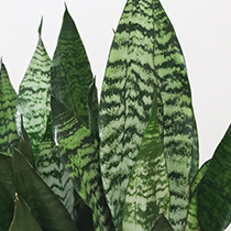 つやつやとした楕円形の肉厚な葉