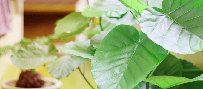 グリーンインテリアとして人気が高い観葉植物のウンベラータ