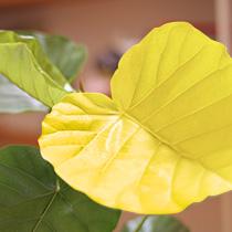 古い葉っぱが黄色くなった場合、早めに切り取ることで新芽の成長を早めることができます
